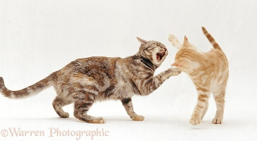 Silver tortoiseshell cat play-fighting with her ginger kitten