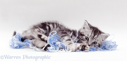 Silver tabby kitten playing with blue wool