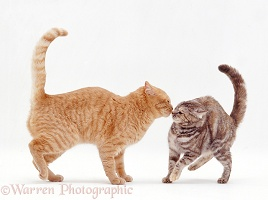 Cat courtship - meeting