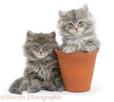 Maine Coon kittens playing in a terracotta flowerpot
