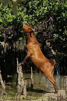 Goat eating mangrove