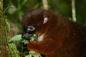 Red-bellied lemur