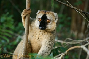 Red-fronted Lemur