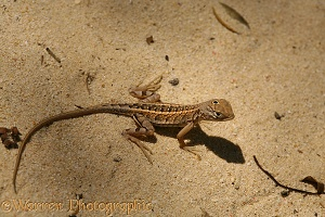 Three-eyed Iguanid Lizard