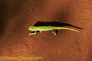 Chameleon on red sand