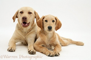 Yellow Labrador and Labrador cross