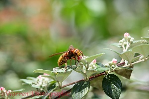 Hornet queen on cotoneaster