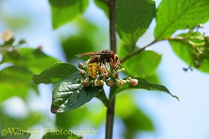 European Hornet queen on cotoneaster