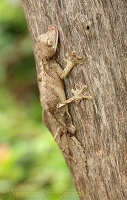 Gecko camouflaged on bark
