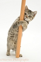 British Shorthair Brown Spotted kitten 'pole dancing'