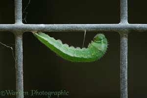 Orange tip caterpillar preparing to pupate