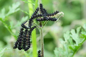Peacock butterfly caterpillars