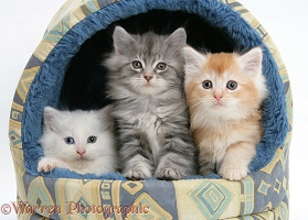 Maine Coon kittens, 8 weeks old, in an igloo cat bed