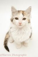 Tortoiseshell-and-white Calico Maine Coon kitten looking up