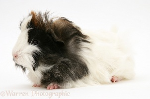 Black-and-white bad-hair-day Guinea pig