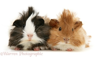 Bad-hair-day Guinea pigs