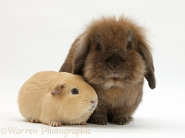 Brown Lionhead-cross rabbit with yellow Guinea pig