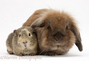 Brown Lionhead-cross rabbit with Guinea pig