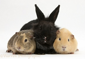Black Lionhead-cross rabbit with Guinea pigs