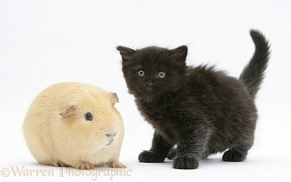 Black kitten with a yellow Guinea pig