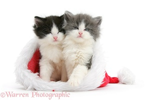 Sleepy kittens in Santa hat