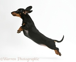 Miniature Dachshund leaping