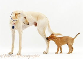 Saluki Lurcher and pup
