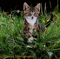 Tabby kitten stalking among grass and plantains