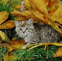 Tabby kitten among fallen Horse Chestnut leaves