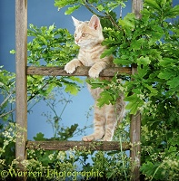 Ginger kitten up a wooden ladder