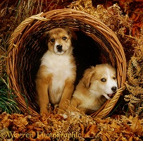 Two sable Irish Border Collie pups in a wicker basket