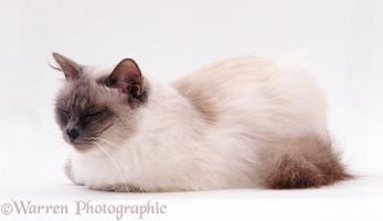 Sleepy elderly Blue Birman female cat