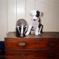 Badger cub and black-and-white Border Collie pup