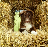 Border Collie puppy among straw bales