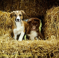 Border Collie puppies among straw bales