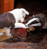 Black-and-white Border Collie pup playing with badger cub