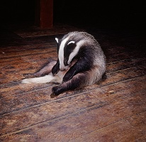 Badger cleaning himself