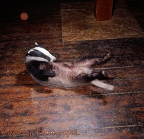 Badger lying on his back