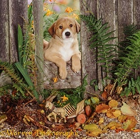 Border Collie pup with ferns and fence