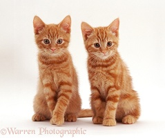 Two ginger kittens