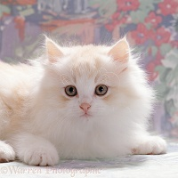 Pale ginger-and-white kitten