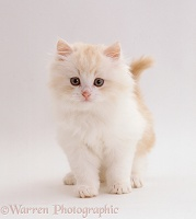 Pale ginger-and-white fluffy kitten