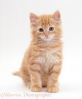 Fluffy ginger moggy kitten