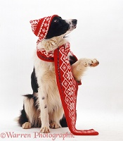 Black-and-white Border Collie wearing hat and scarf