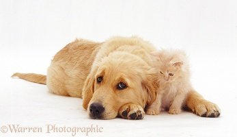 Goldie pup with lilac kitten