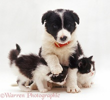Border Collie puppy and kittens