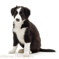 Black-and-white Border Collie pup, 6 weeks old