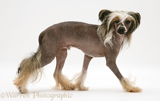 Chinese crested dog walking across