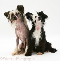 Chinese crested dog pair, sitting