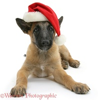 Belgian Shepherd Dog pup wearing a Santa hat